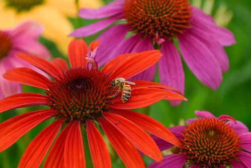 coneflower bee nature seoul southkorea gwanghwamunplaza sunflowers