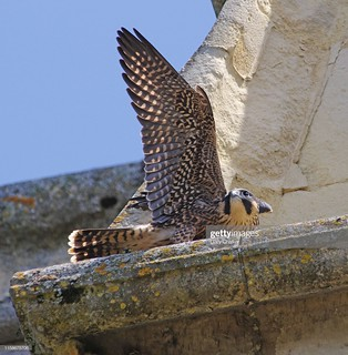 Juvenile Peregrine Falcon | by Gary Chalker, Thanks for over 4,000,000. views