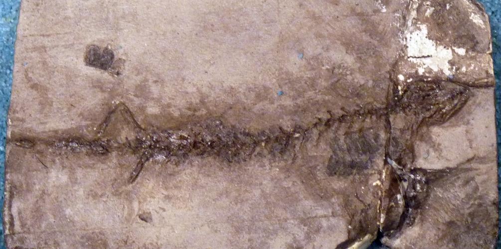 Hylaeobatrachus croyii 48150255316_e2d5f27e87_o