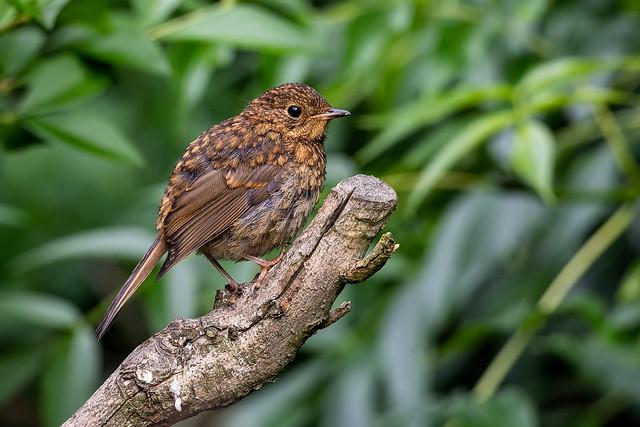 Juvenile Robin