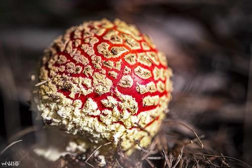mountmacedon mtmacedon mtmacedonmemorialcross winter toadstool redtoadstool fungi macro
