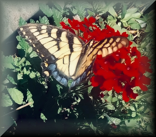 Butterfly on red A