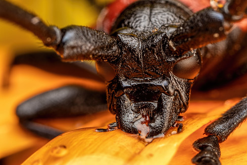 Feeding Long Horned Beetle II