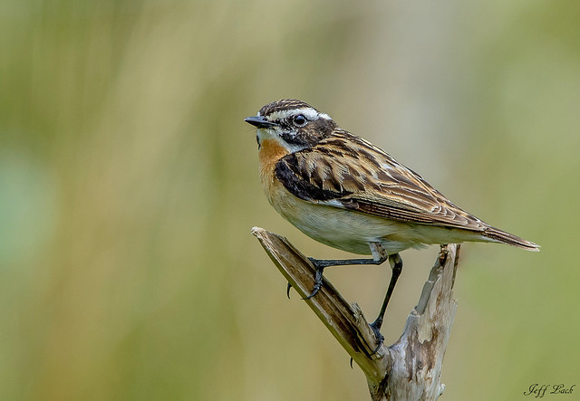 DSC1097  Whinchat...