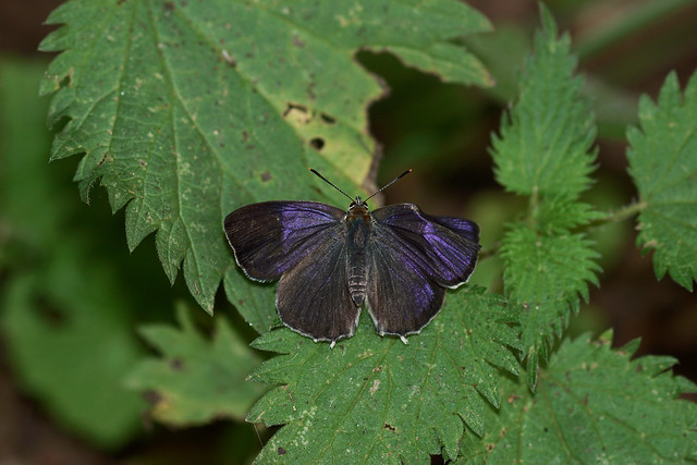 Purple  Hairstreak - Epping Forest