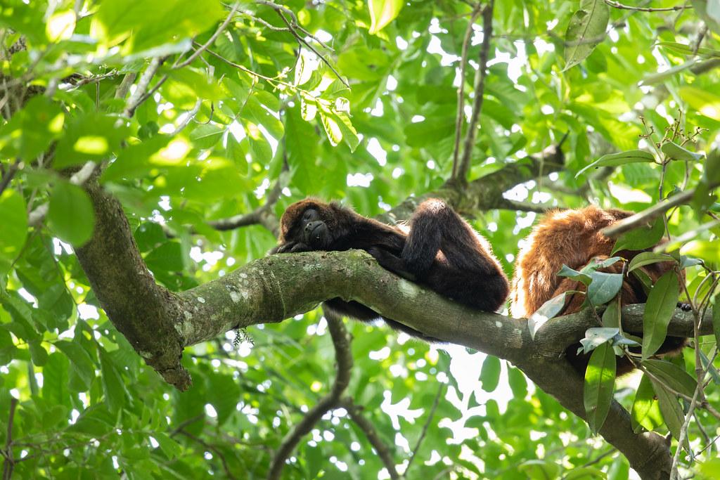 Southern brown howler monkey (Alouatta guariba clamitans)