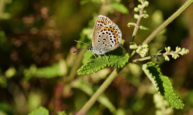Silver-studded Blue (f)