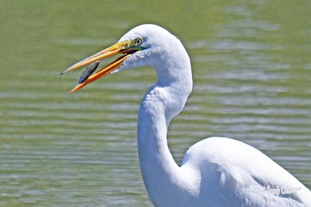Great Egret Eating 19-0526-2799