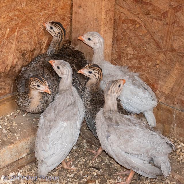 3 week old Guinea Fowl Keets (2019)
