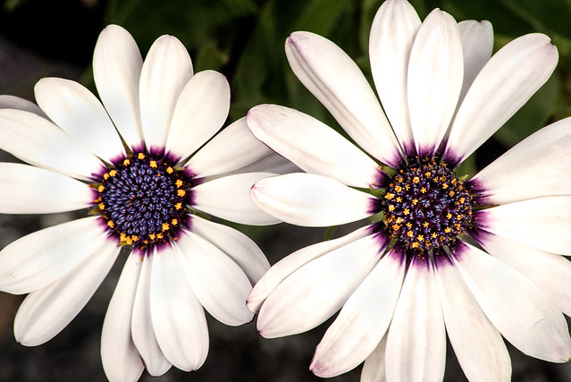 Two African Daisies 3-0 F LR 5-8-19 J498