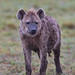 Image: Portrait of a Spotted Hyena