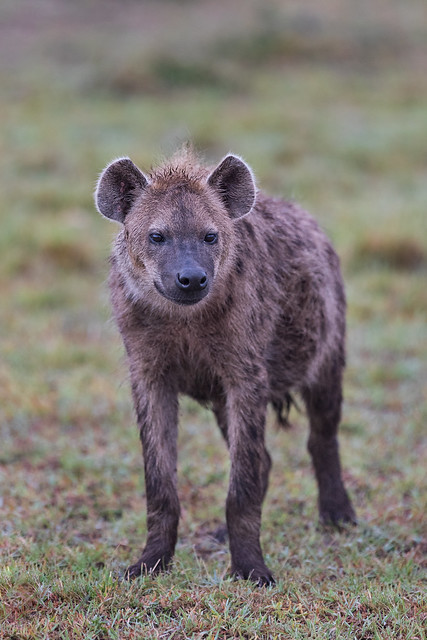Next: Portrait of a Spotted Hyena