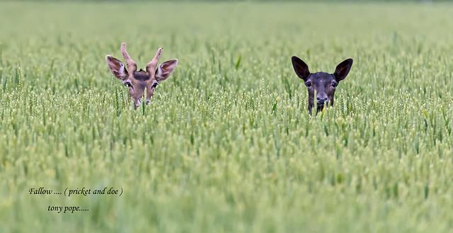 Fallow Deer ...