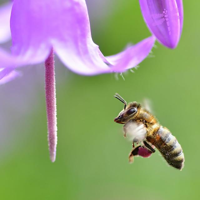 campanula & purple pollen pantaloons . . .