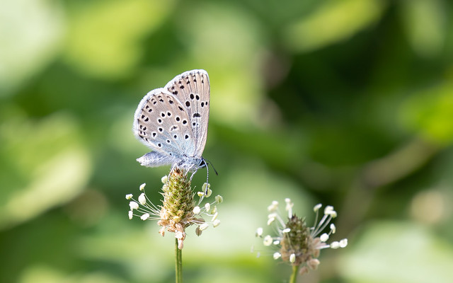 Large blue (Collard Hill)