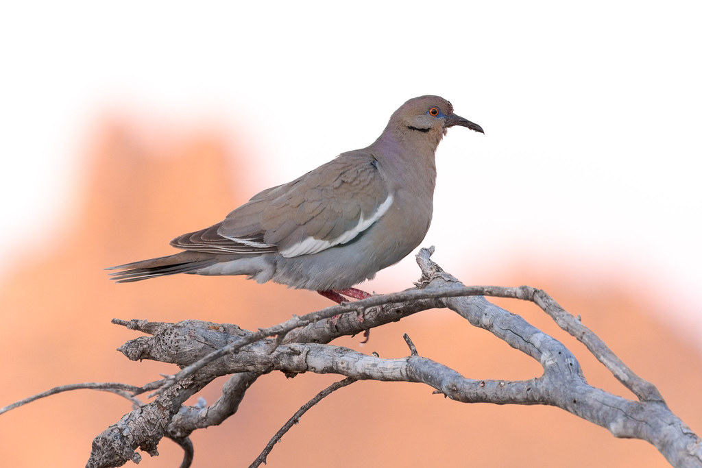 As the rising sun lights up distant Pinnacle Peak, a white-winged dove perches on a tree in the shadows along the Latigo Trail in McDowell Sonoran Preserve in Scottsdale, Arizona in June 2019