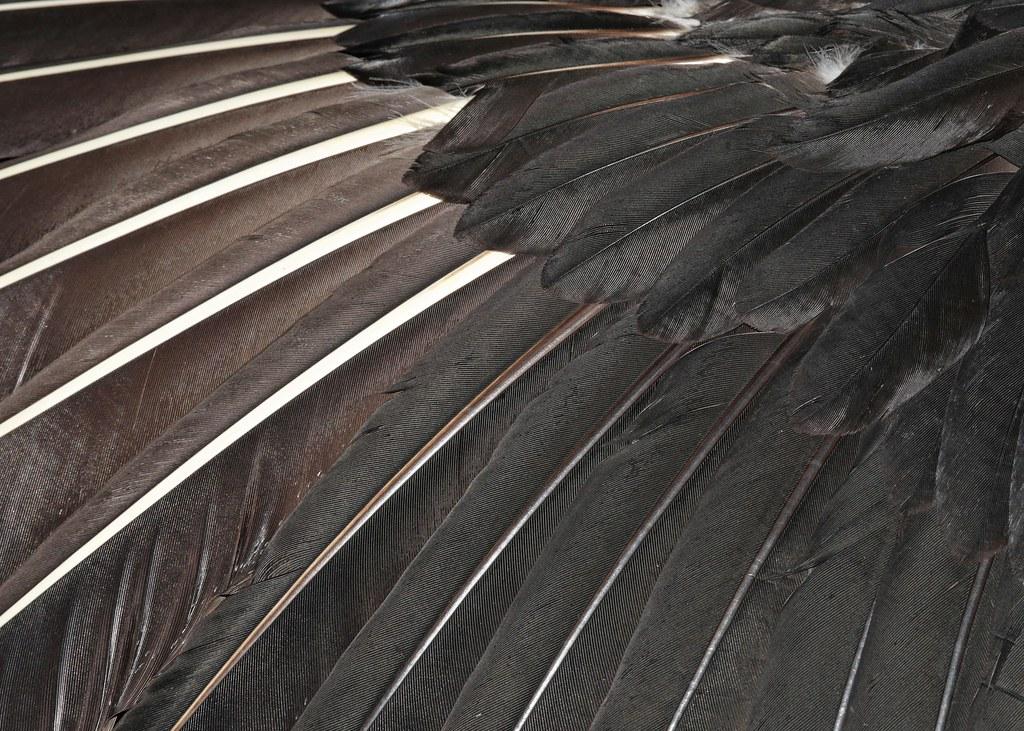 Black Vulture wing detail (Carolina Raptor Center)