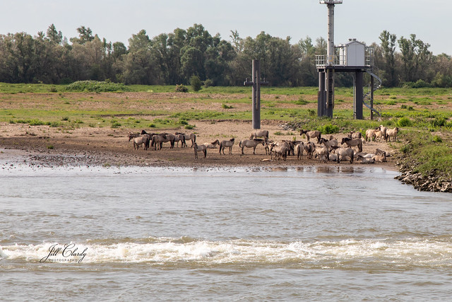Wild Horses along The Waal River in The Netherlands