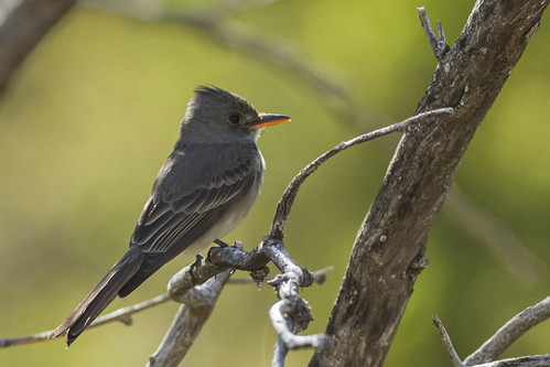 Greater Pewee - Madera Canyon, Arizona