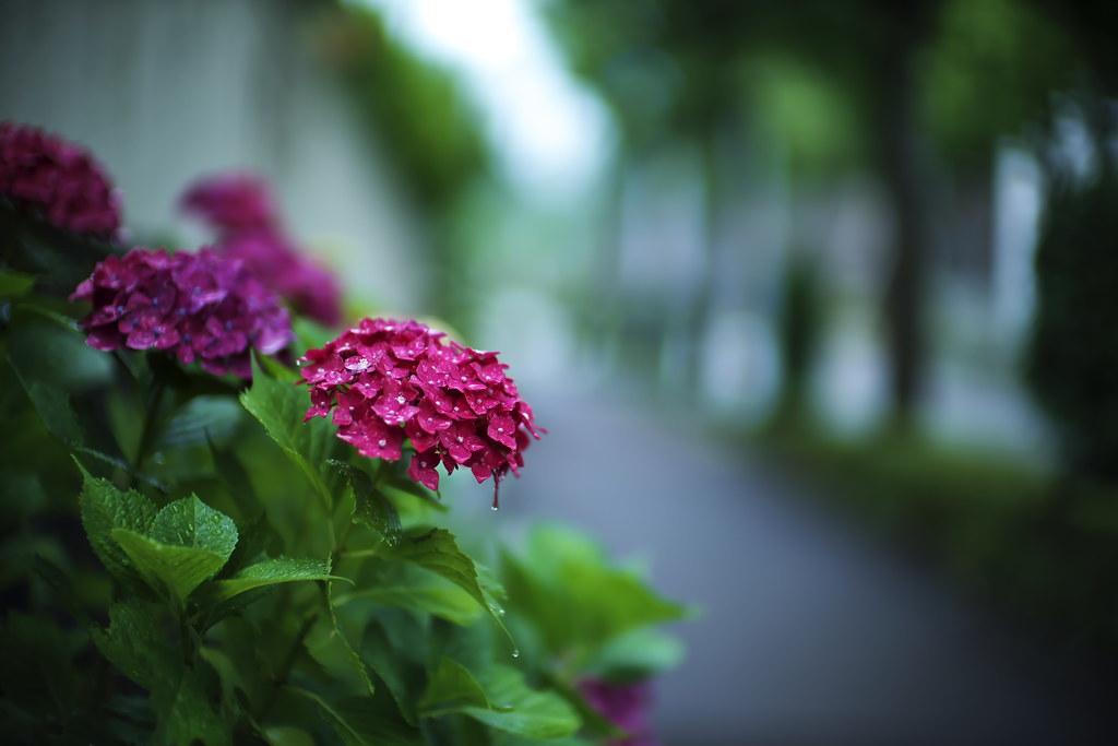 sidewalk hydrangea 6 a.m.