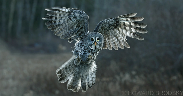 Great Grey Owl ......Back-lit in winter .....with no snow.