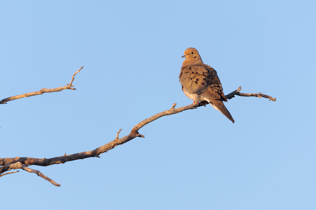 A mourning dove perches at the end of a dead tree branch near the Latigo Trail in the Brown's Ranch section of McDowell Sonoran Preserve in Scottsdale, Arizona in May 2019