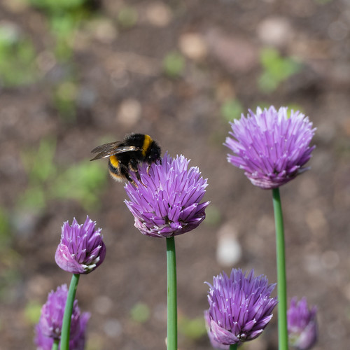 Chive flowers, bumblebee, Castle Grounds