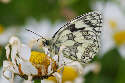 brownespiece cambridgeshire melanargiagalathea butterfly insect marbledwhite