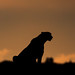 Image: Year of the Cheetah