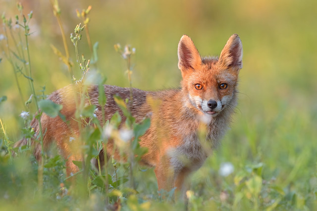 Confidence / Red Fox