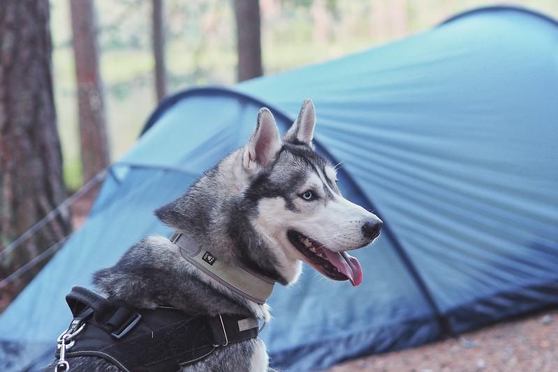 huskyn ensimmäinen telttaretki