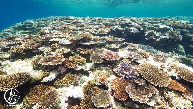 テーブル珊瑚畑