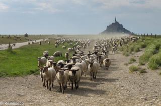 Les moutons des prés salés