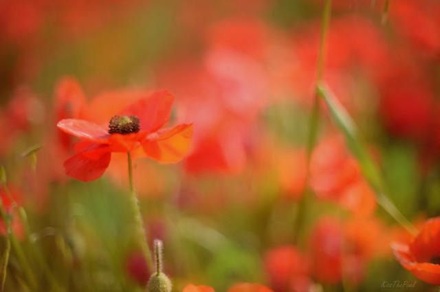 Wild Poppies...