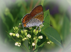 Bronze Copper Butterfly