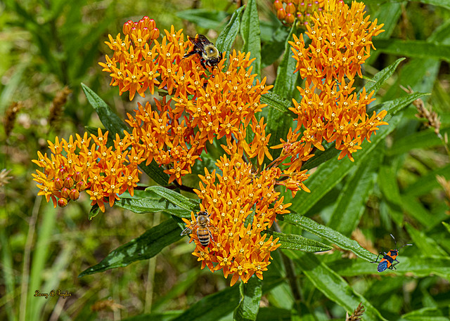 Honey bee, bumble bee, & a Milkweed bug on Tennesse wildflower.