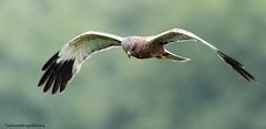 Male Marsh Harrier over nest checking on siblings