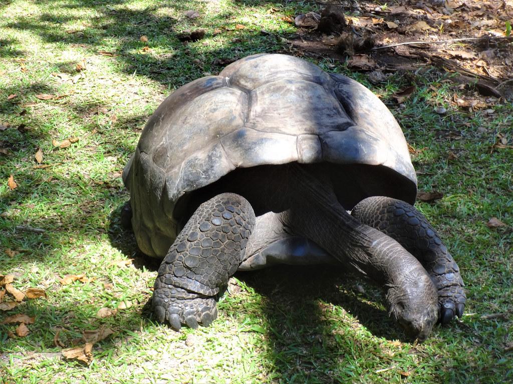 Żółw olbrzymi na Curieuse, Seszele