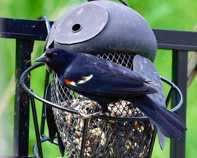 Redwing Blackbird up close