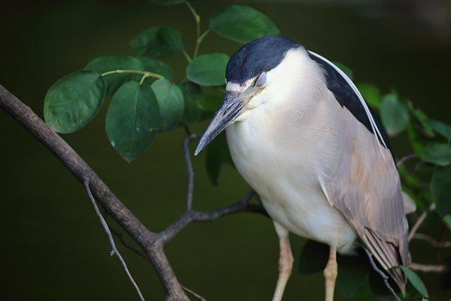 sleeping night heron