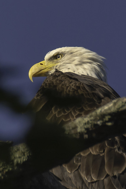 Bald Eagle on Lake Minocqua