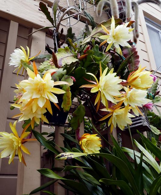 Epiphyllum David's Golden Splendor