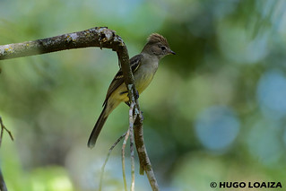 Elaenia flavogaster  - Yellow-bellied Elaenia | by hugo.loaiza