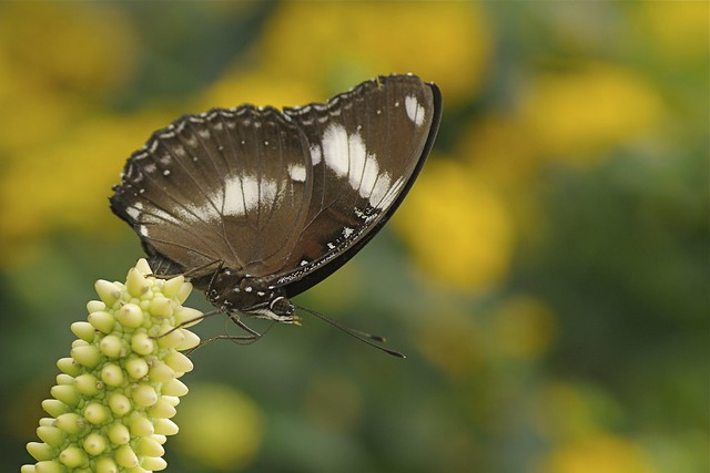 Common Eggfly Butterfly - Hypolimnas misippus