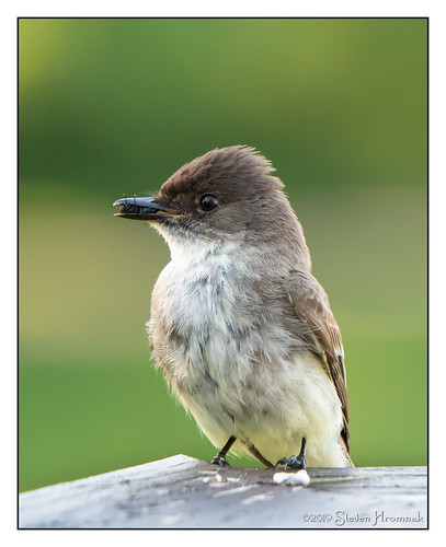 eastern phoebe fly deck bird breakfast easternphoebe flycatcher sayornisphoebe passerine clichesaturday hcs