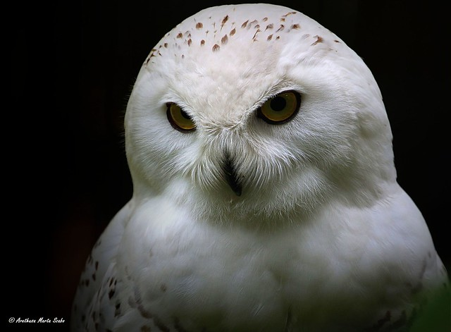 Portrait of a bit angry Snowy Owl