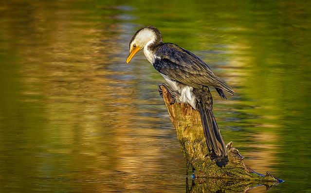 morning light - little pied cormorant