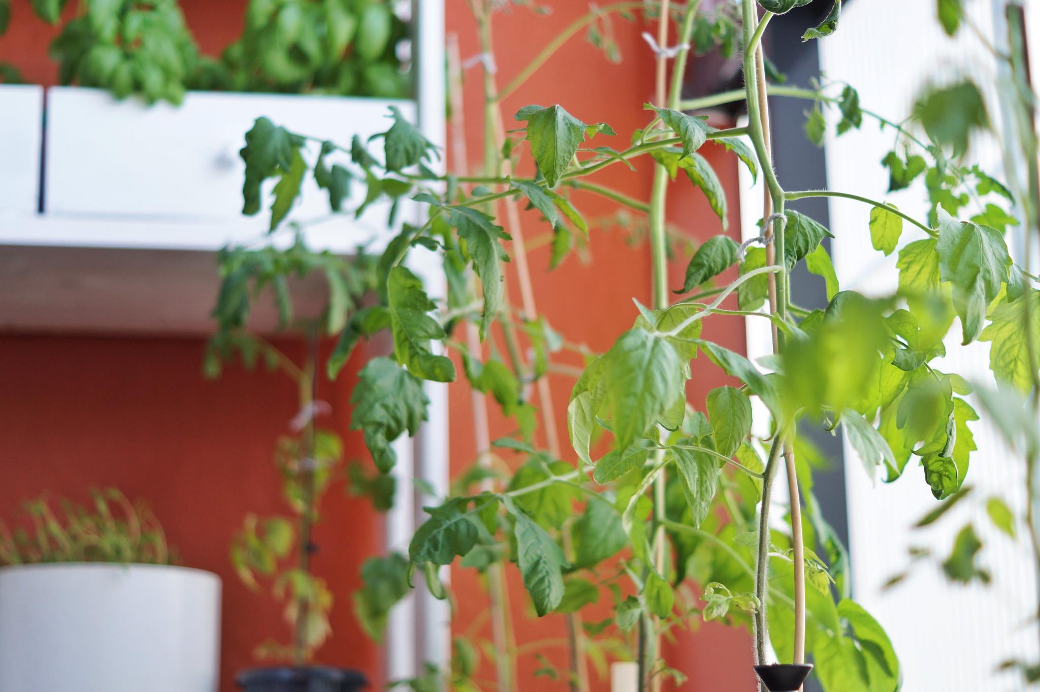 parvekeviljely tomaatti