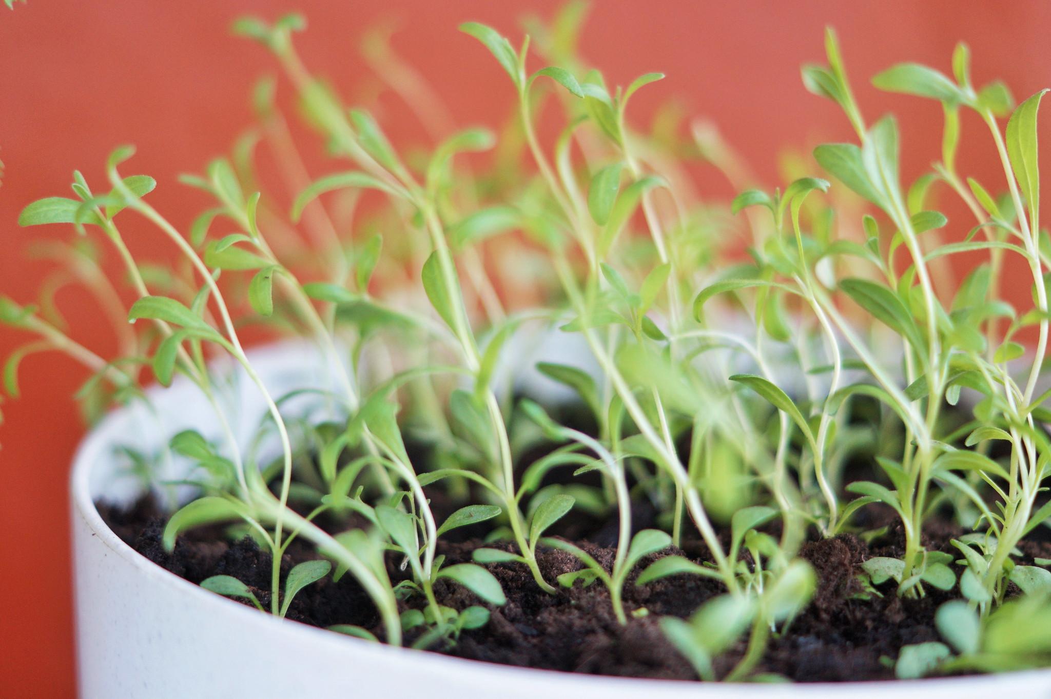 laventelin kasvatus