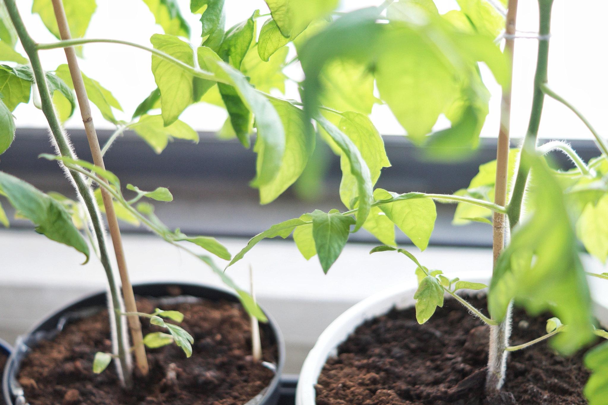 tomaatti kasvatus blogi